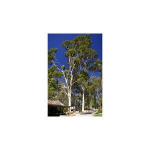 Eukaliptusz citriodora illóolaj